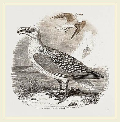 Albatross Drawing - Albatross by Litz Collection