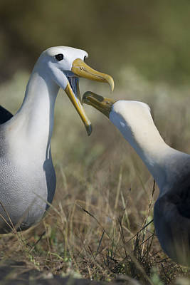 Photograph - Albatross Perform Mating Ritual by Richard Berry