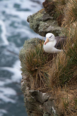 Photograph - Albatross Rookery by David Beebe