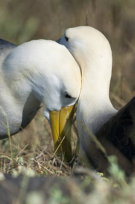 Photograph - Albatrosses Snuggle by Richard Berry