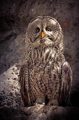 Alberta Great Gray Owl  Art Print by Maria Angelica Maira