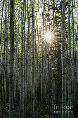 Photograph - Alberta Poplar Forest by Cooper Ross
