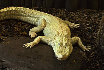 Photograph - Albino Alligator by Bill Barber