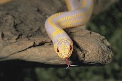 Photograph - Albino California Kingsnake by Richard Hansen