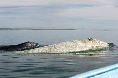 Albino Photograph - Albino Grey Whale And Calf by Christopher Swann
