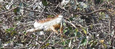 Photograph - Albino Iguana At Wakodahatchee Wetlands by Ron Davidson