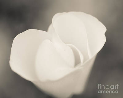Photograph - Albino Mexican Gold Poppy by Tamara Becker