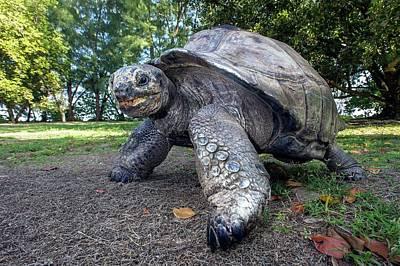 Aldabra Giant Tortoise Art Print