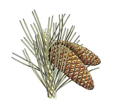 Aleppo Pine (pinus Halepensis) Cones Art Print by Science Photo Library