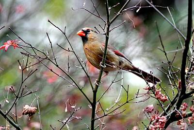 Alert - Northern Cardinal Art Print
