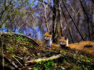 Alert Cute Kit Foxes Art Print by Thomas Young