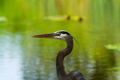 Photograph - Alert Heron by Shannon Harrington