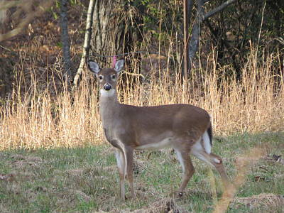Photograph - Alert Little Doe by Kathy Long