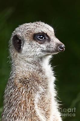 Meerkat Photograph - Alert Meerkat Or Suricate  Suricata Suricatta by Liz Leyden