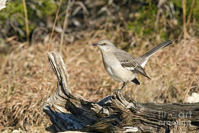 Photograph - Alert Mockingbird by David Cutts