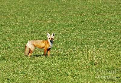 Photograph - Alert Red Fox by Cindy Murphy - NightVisions