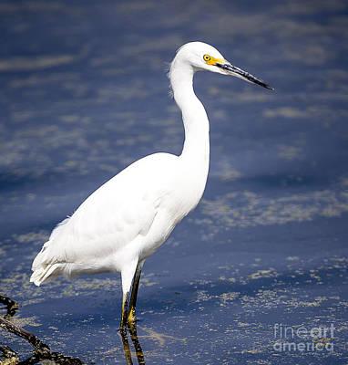 Egret Photograph - Alert Snowy Egret by David Millenheft