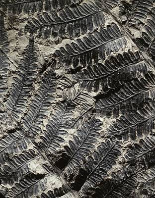 Paleobotanical Photograph - Alethopteris Seed Fern Fossil by Gilles Mermet