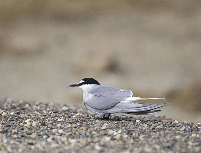Photograph - Aleutian Tern by Doug Lloyd