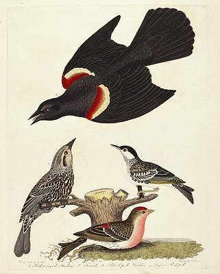Starlings Drawing - Alexander Lawson After Alexander Wilson, Red-winged by Quint Lox