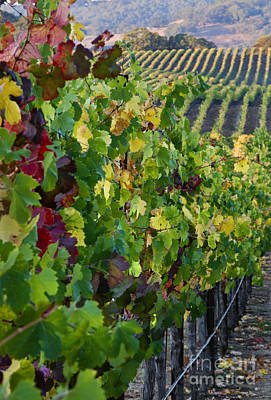 Photograph - Alexander Valley Vineyard by Craig Lovell