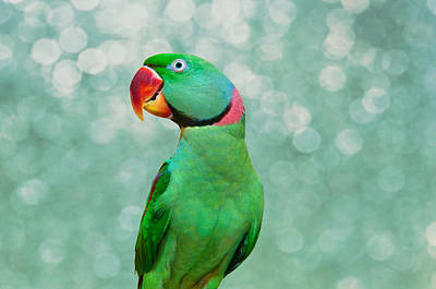Blueish Photograph - Alexandrine Parakeet- Mr. J R by Louise Hill
