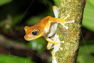 Amazon Rainforest Photograph - Alfaro's Treefrog by Dr Morley Read