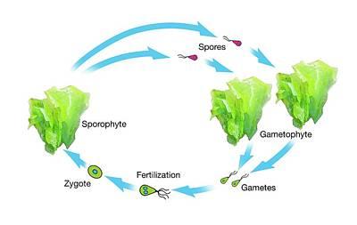 Algae And Plant Life-cycle Art Print