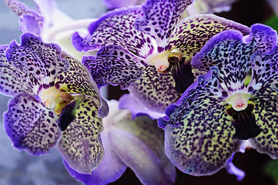 Photograph - Aliens. Orchids From Keukenhof. Netherlands by Jenny Rainbow