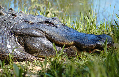 Photograph - Alligator Smiling by Bob Pardue
