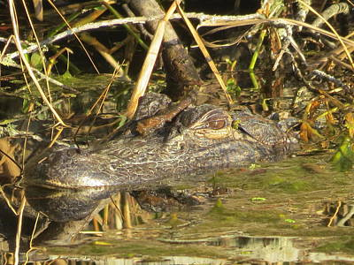 Photograph - Aligator In Soggy Reeds by Ellen Meakin