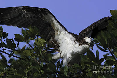 Photograph - Alighting Osprey by Curtis Dale