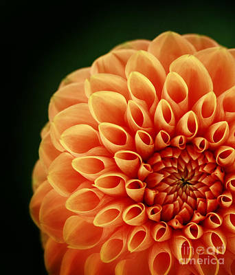 Alive With Color Delight Dahlia Art Print by Inspired Nature Photography Fine Art Photography