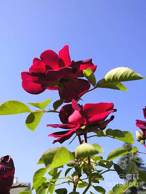 All About Roses And Blue Skies Iv Art Print by Daniel Henning