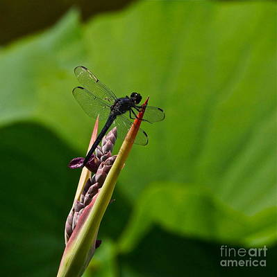 Photograph - All Black Ninja Dragonfly  by Byron Varvarigos