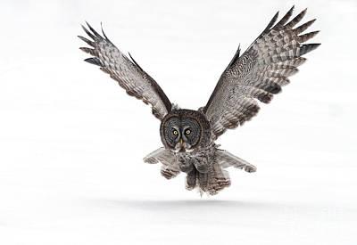 Ggo Photograph - All Feathers / Great Grey Owl by Gary  Fairhead