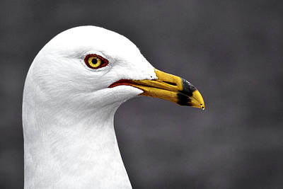 Photograph - All Gull by Wes and Dotty Weber