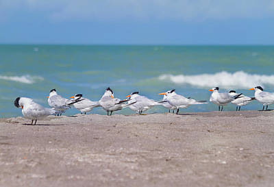 Tern Photograph - All In A Row by Kim Hojnacki