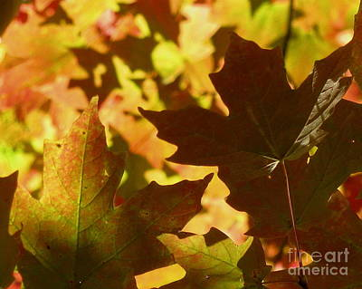 Photograph - All Maple by Fred Sheridan