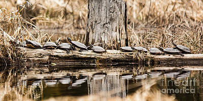 Photograph - All My Turtles In A Row by Cheryl Baxter