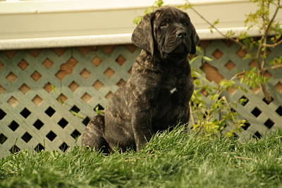 English Mastiff Photograph - All Right Who Has My Chew Toy by Jeff Swan