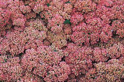 Photograph - All Pink Sedum by Michael Saunders