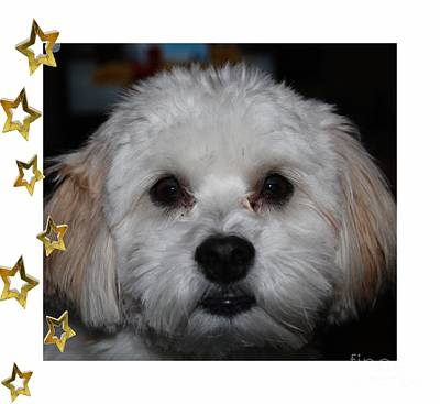 Yoshi Havanese Puppy Photograph - All Star Yoshi by Barbara Griffin