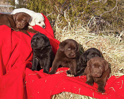 Chocolate Lab Photograph - All Three Colors Of Labrador Retriever by Zandria Muench Beraldo