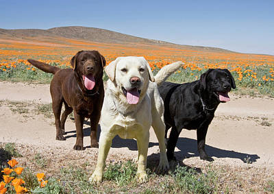 All Three Colors Of Labrador Retrievers Art Print