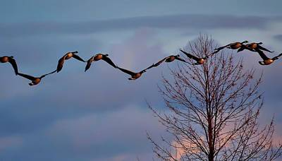 Goose Digital Art - All Tohether Now by Jeff S PhotoArt