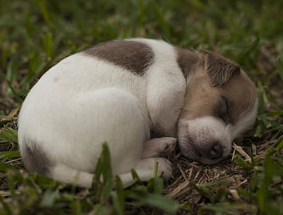 Photograph - All Tuckered Out by Amber Kresge