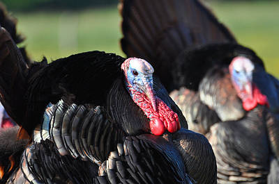 All Turkey Art Print by Todd Hostetter
