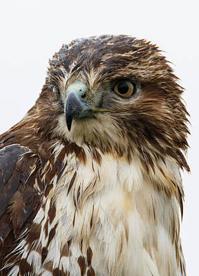 Red Tail Hawk Photograph - All Wet by Angie Vogel