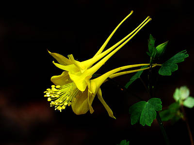 Photograph - All Yellow Columbine by Thomas Samida